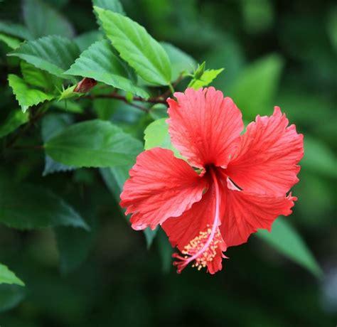 hibiscus fiori caduta fiori ibisco domande e risposte fiori
