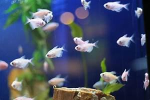 Süßwasserfische Fürs Aquarium : trinken fische wasser info und wissen bei ~ Lizthompson.info Haus und Dekorationen
