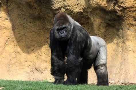 Yes, he is a monstrous, giant ape, but beneath his. Mighty King Kong Wreaks Havoc With Big Wins In A New NJ ...