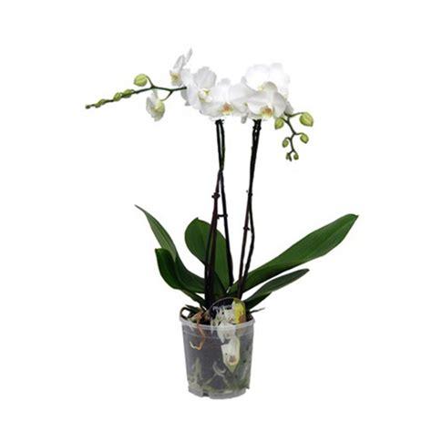 pot orchidee