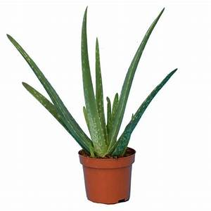 Arrosage Aloe Vera : aloe vera pot de 10 cm gamm vert ~ Nature-et-papiers.com Idées de Décoration