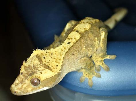crested gecko lighting anthony caponetto reptiles acreptiles