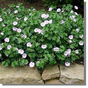 Blumenkästen Bepflanzen Sonnig : geranium sanguineum 39 apfelbl te 39 garten blut storchschnabel bild 2 work ~ Frokenaadalensverden.com Haus und Dekorationen