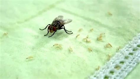 how does a house fly live housefly giving birth to maggots