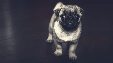pug puppy chromebook wallpaper