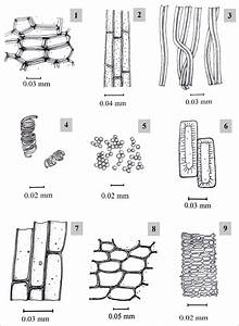 Wiring And Diagram  Diagram Of Xylem Parenchyma