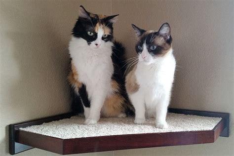 cat climbing shelves  perches  walls