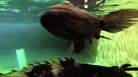 grouper farming