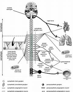 Nervous System Spinal Cord Diagram