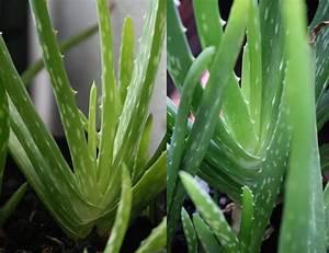 Aloe Vera Essbar : aloe vera aber welche pflanzenbestimmung pflanzensuche green24 hilfe pflege bilder ~ Buech-reservation.com Haus und Dekorationen