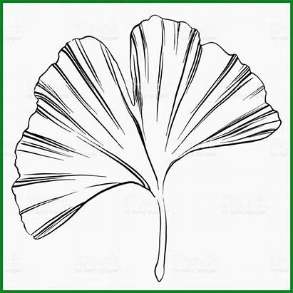 Ginkgo Leaf Sketch Blatt Vorlage Folha Desenho