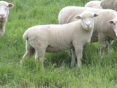 K Bar K Farm- Dorset Sheep- Imported Genetics Ai
