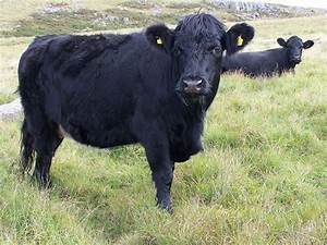 Welsh Black cattle - Wikipedia