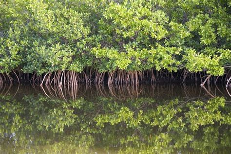 The Magnificent, Maligned Mangrove   JSTOR Daily