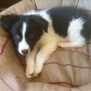Blue Merle and black an white sheepdog puppies | Merthyr ...