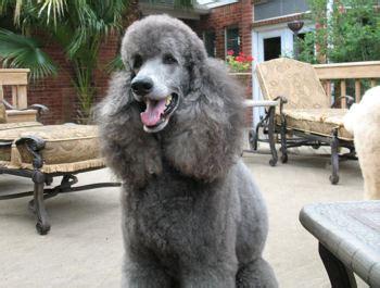 standard poodle silver poodle