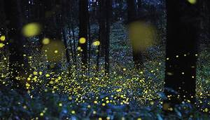Fireflies, Lightning Bugs, and Glowworms: Why Do Fireflies ...
