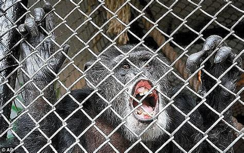 unhinged ny lawyer  argue chimps  nonhuman rights