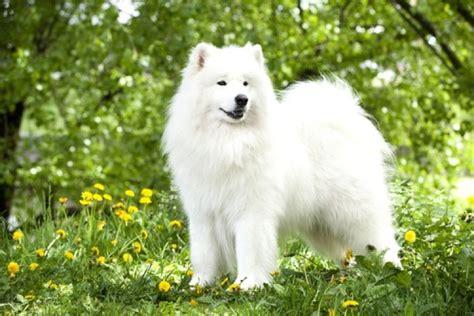 top   beautiful dog breeds   world