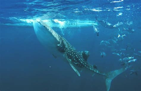 Dive With Whale Sharks Diving With Whale Sharks Jo 227 O Cajuda Travel