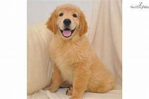 Cute Baby Golden Retriever Puppies - Litle Pups