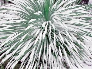 Mimosa Résistant Au Froid : yucca rostrata palmier exotique marseille vente palmier ~ Melissatoandfro.com Idées de Décoration
