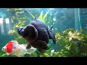 My Black Moor Fish Isnt Eating? | Yahoo Answers
