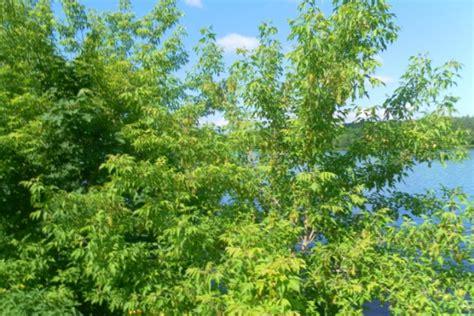 Gada koks ošlapu kļava -