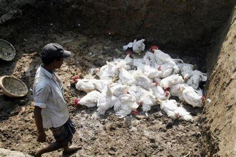 karnataka  cull  lakh chickens  laboratory