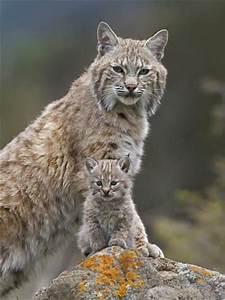Bobcat (Lynx Rufus) Mother and Kitten, North America ...