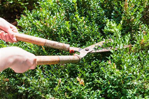 buchsbaum stark zur 252 ckschneiden 187 wann und wie wird s gemacht