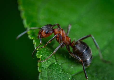 long  ants  owlcation