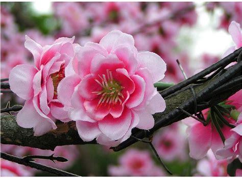 Bibit Collagen Japanese Cherry branch brook park cherry blossoms of collage