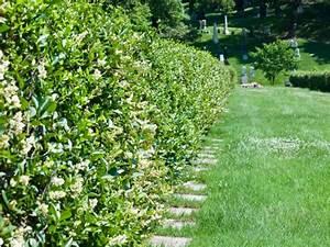 Schnellwachsende Pflanzen Als Sichtschutz : dichte immergr ne hecken als sichtschutz welche heckenpflanzen ~ Whattoseeinmadrid.com Haus und Dekorationen