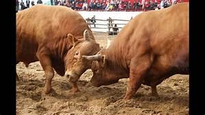 Crazy Korean Bull Fights