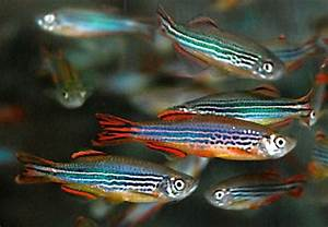 Danio kyathit Ours looks a little like these guys