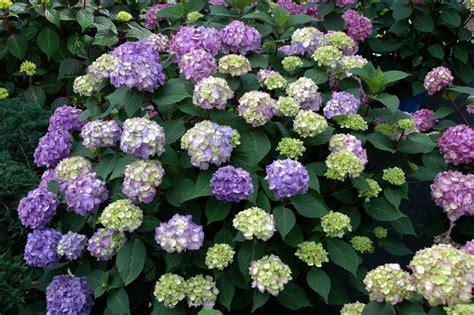 how to hydrangeas hydrangeas how to prune them hgtv