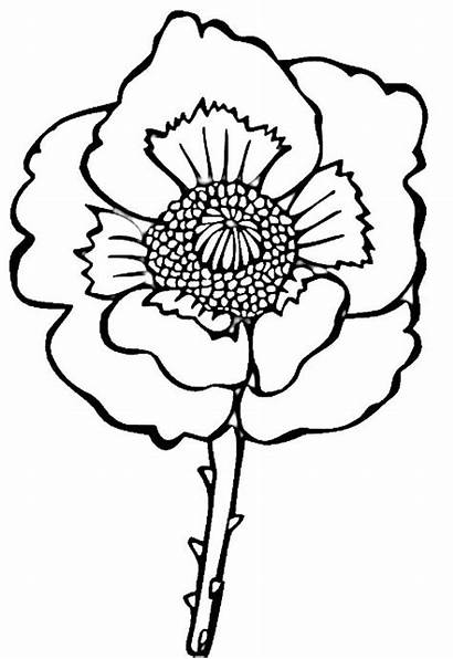 Poppy Coloring Flower Kleurplaat Klaproos Colorare Papavero
