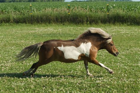 horse miniature horses mini ponies pasture pony gallop canter shetland runs through biting stables locations why mane mosquitoes reported nile