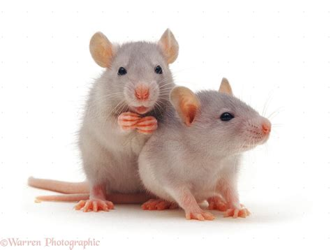 Two baby silver rats, 5 weeks old photo - WP10516