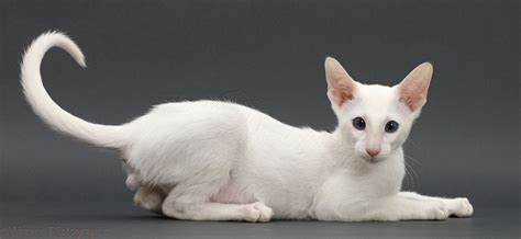grey and white white kitten on grey background photo wp44779