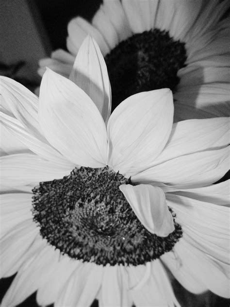 black white sunflower  literary spring designs