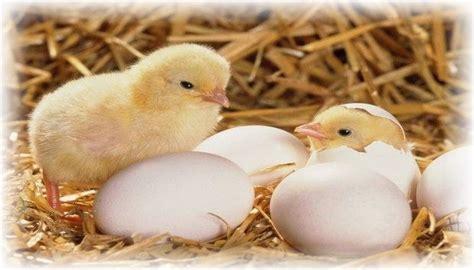 kolase telur ayam menetas