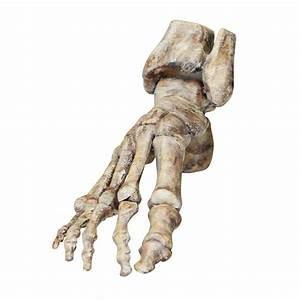 Foot And Ankle Bone Joint Anatomy Model Anatomical Foot