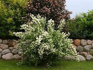 Jasmin Pflanze Pflege : die 25 besten ideen zu jasmin pflanze auf pinterest blumen pflanzen geldanlage und jasmin stern ~ Markanthonyermac.com Haus und Dekorationen