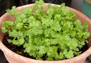 How To Grow Cilantro In Soil Or In Pot #2148 | Latest ...