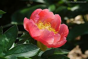 Pictures Of Flowers  Peony