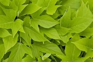 Ipomoea Sweet Georgia  U00ae  U2013 Green Fuse Botanicals Inc