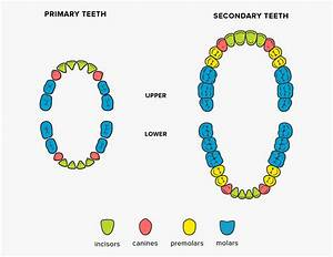 Teeth Names  Shape And Function Of Four Types Of Teeth