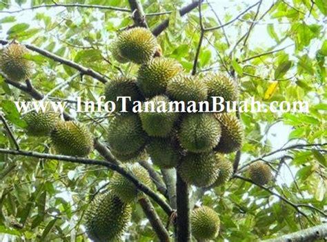jual bibit durian merah info tanaman buah